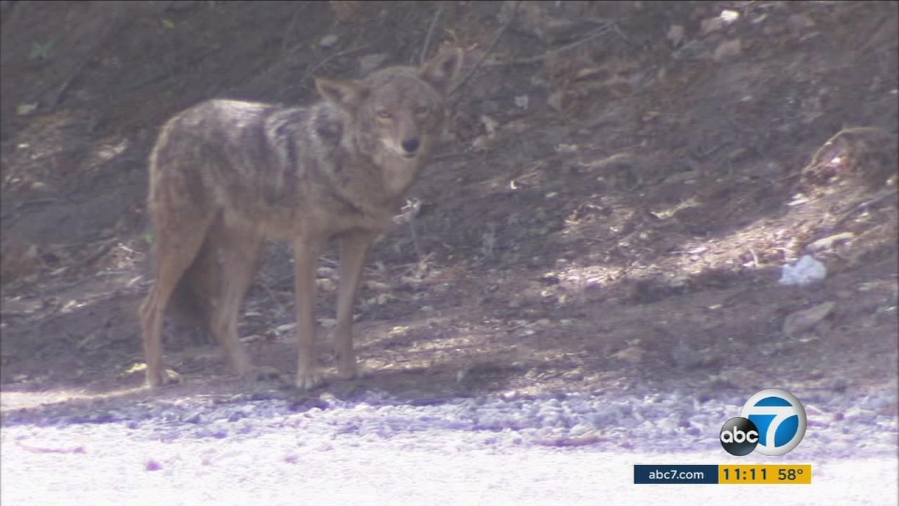 A coyote is shown in an undated photo.