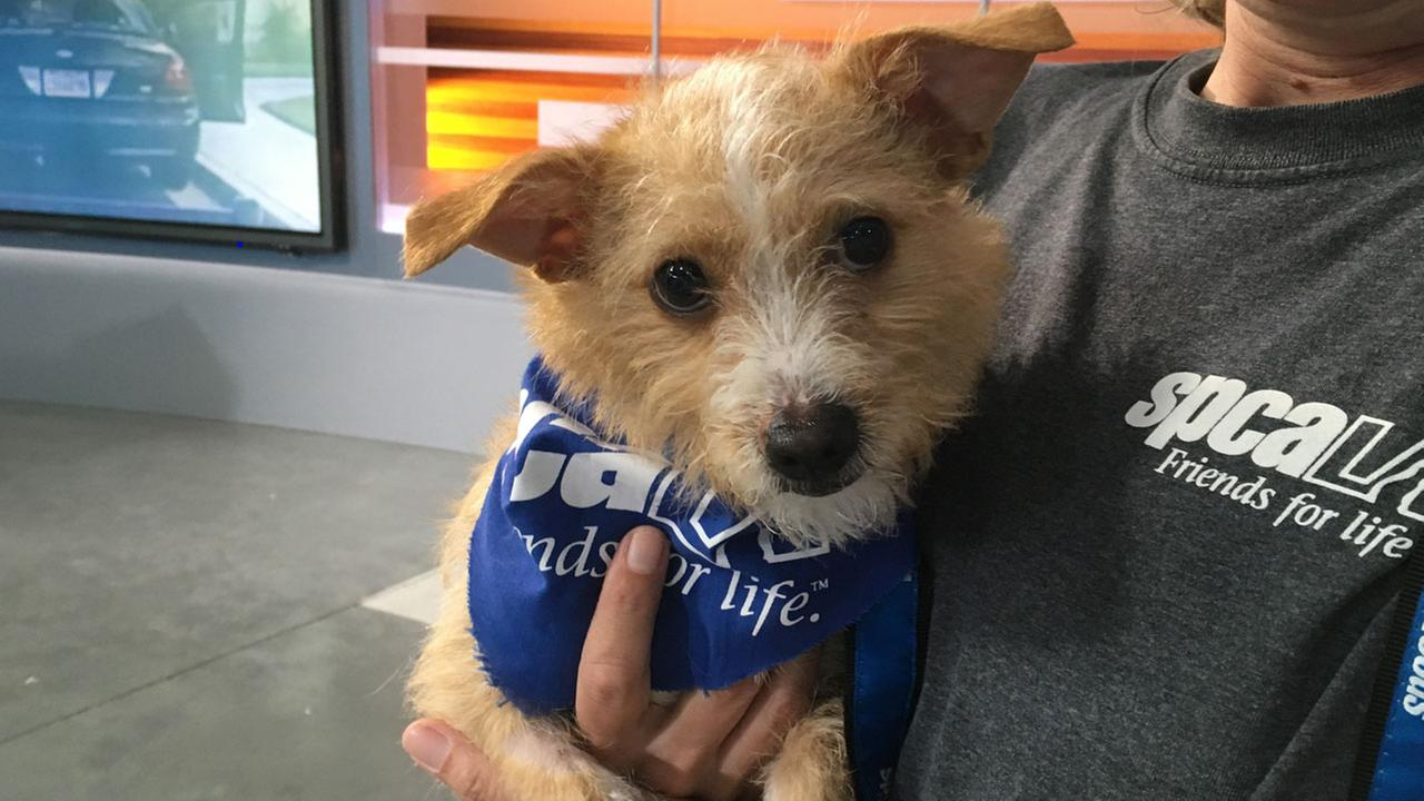 Alexis, a 10-month-old terrier mix, is shown on the ABC7 set on Thursday, May 12, 2016.