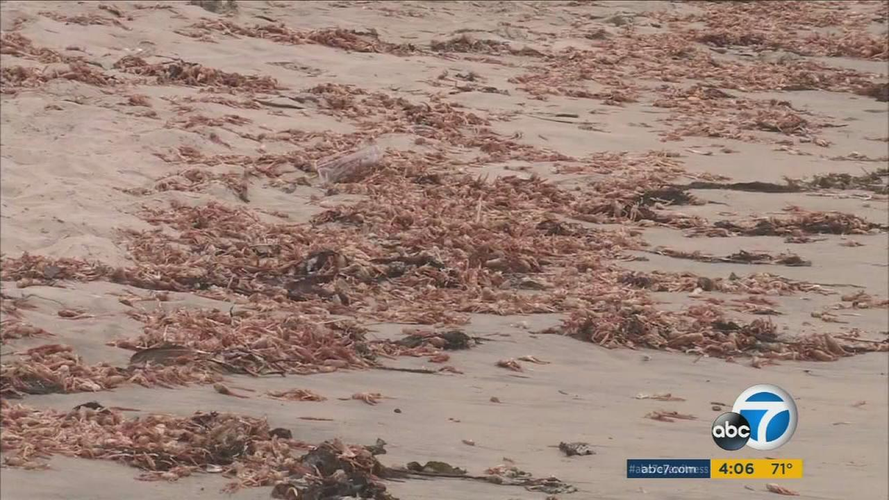 Thousands of dead tuna crabs carpeted beaches in Orange County, and scientists said its because of El Nino.