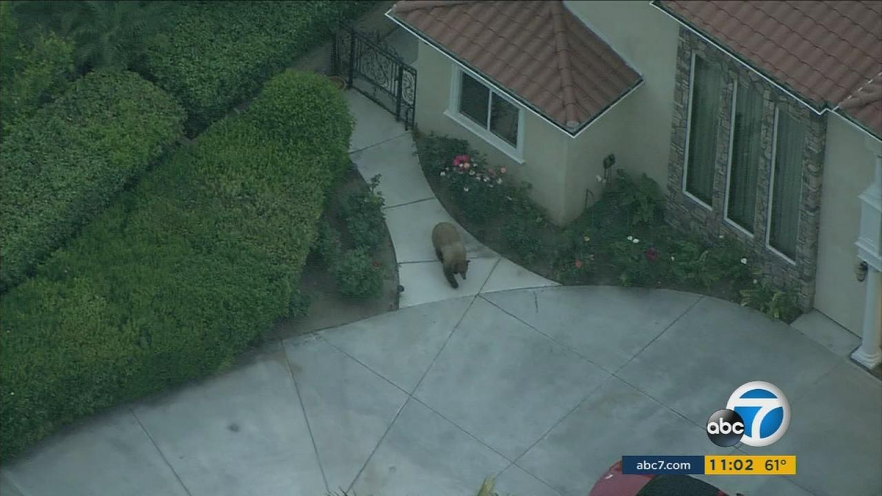A large black bear was spotted sprinting through a Pasadena neighborhood on Monday, May 23, 2016.