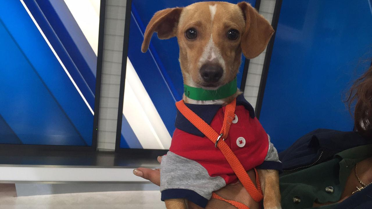 Wesley, a Dachshund mix, is shown on the ABC7 set on Tuesday, May 24, 2016.