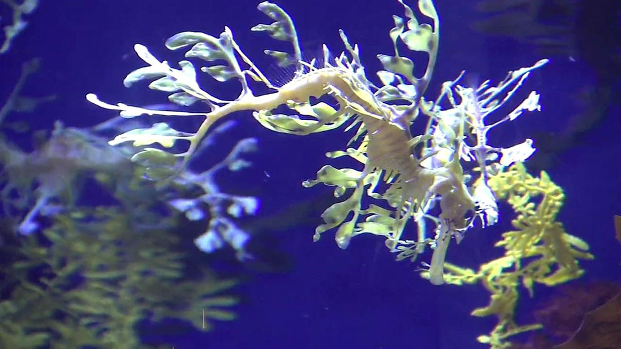 A leafy sea dragon is shown at the Aquarium of the Pacific on Thursday, May 26, 2016.
