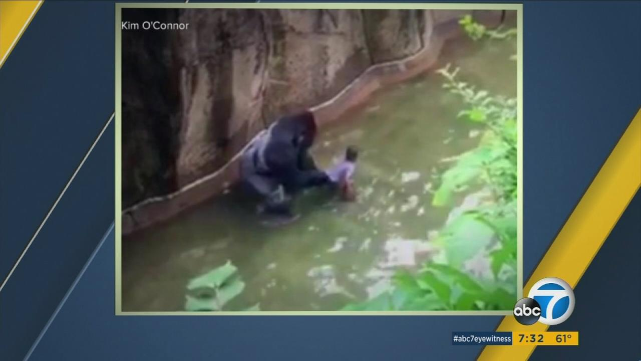 A silverback gorilla is shown on video grabbing onto a 4-year-old boy who fell into its enclosure at the Cincinnati Zoo on Saturday, May 28, 2016.