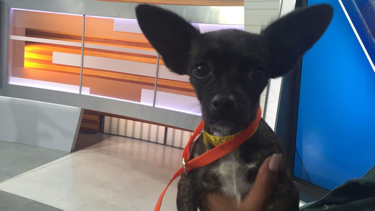 Pepper, an 8-month-old Chihuahua, is shown at the ABC7 studio on Tuesday, June 21, 2016.