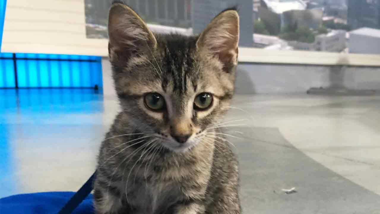 Our ABC7 Pet of the Week is Terra, a 3-month-old gray kitten. Please give her a good home!
