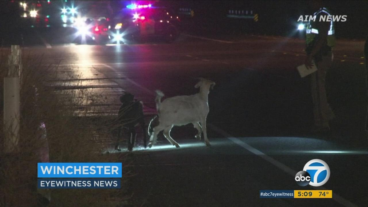 About 15 to 20 goats were killed or had to be euthanized after a herd wandered onto a road in Riverside County and were hit by a car, officials said.