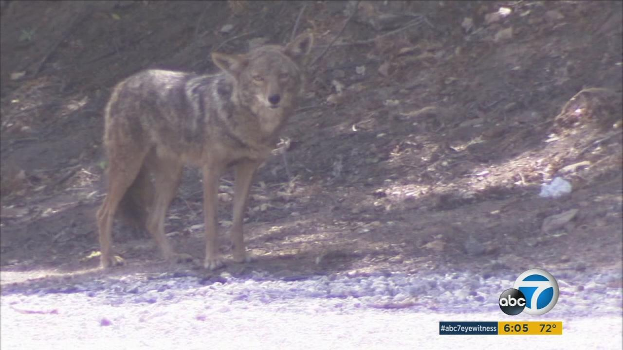 The Los Angeles Police Departments Animal Cruelty Task Force is investigating a coyote shooting to determine if a gunshot was the cause of death.