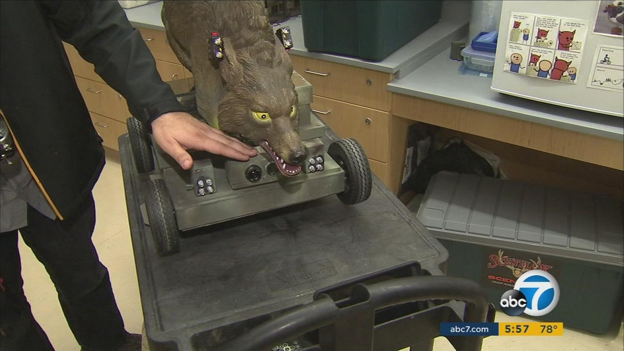 A robotic coyote is shown at a research lab in CSU Long Beach.