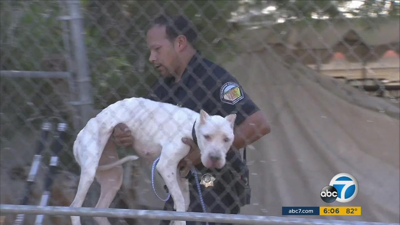 Riverside County animal cruelty investigators found 10 dead and about 25 neglected, emaciated pit bulls at a trash-strewn property in the La Sierra area south of Highway 91.