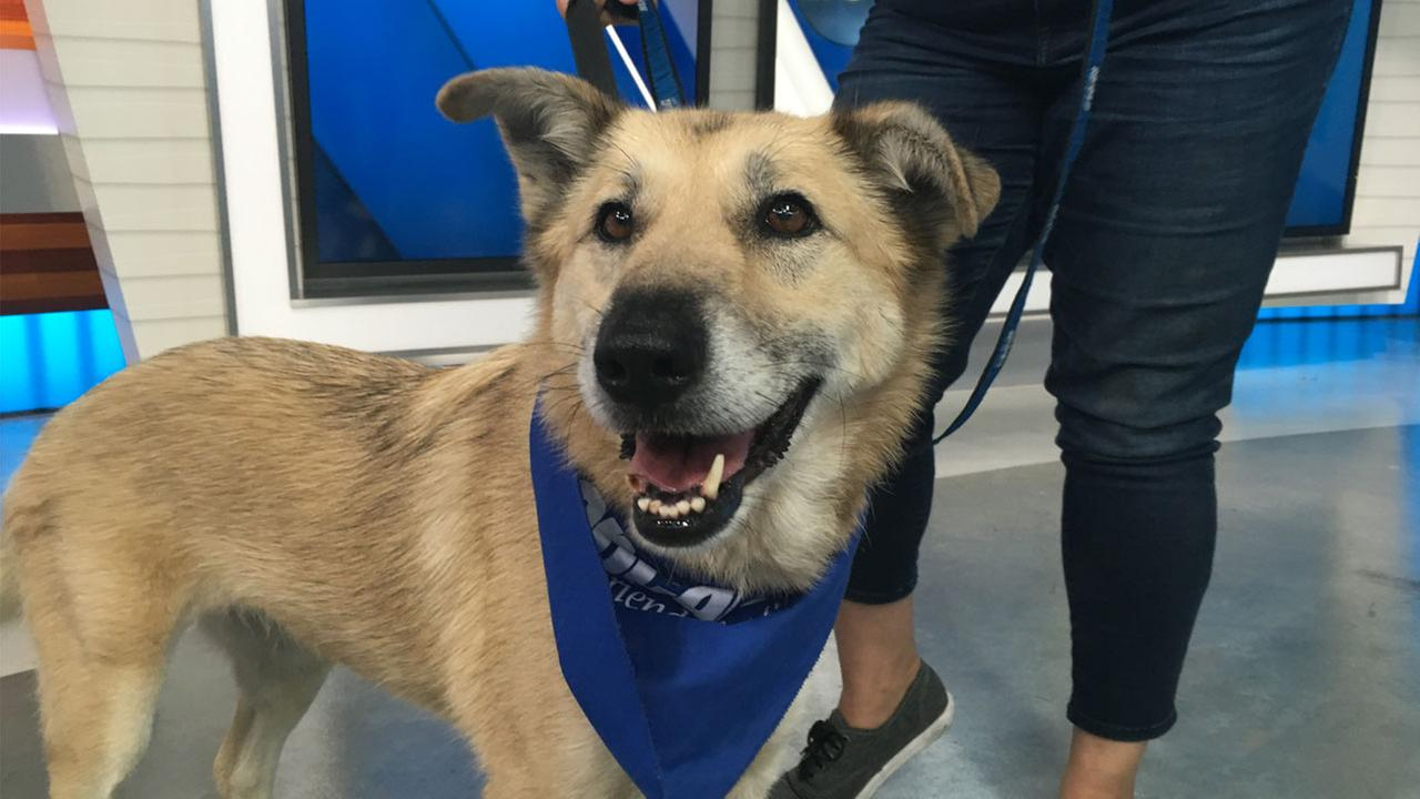 Chloe, a 6-year-old shepherd mix, is shown on the ABC7 set on Thursday, July 28, 2016.