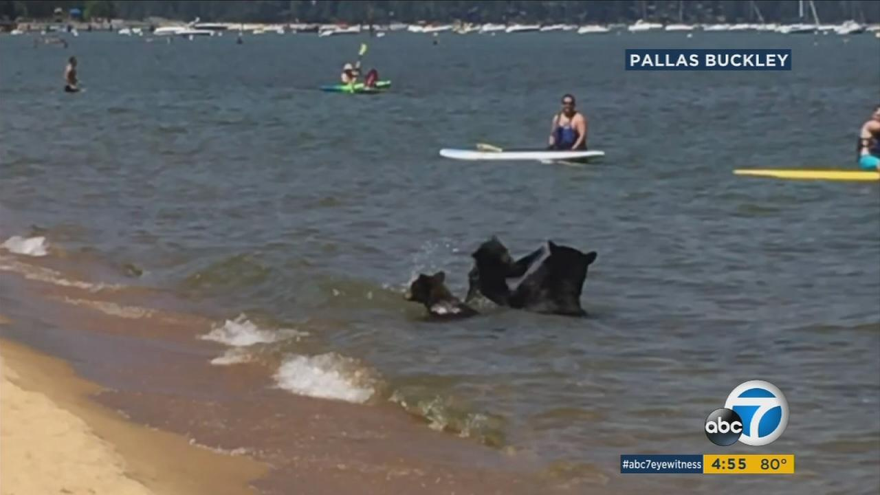 A family of bears was spotted frolicking in the waters of Lake Tahoe recently as beachgoers enjoyed the sight from a safe distance.