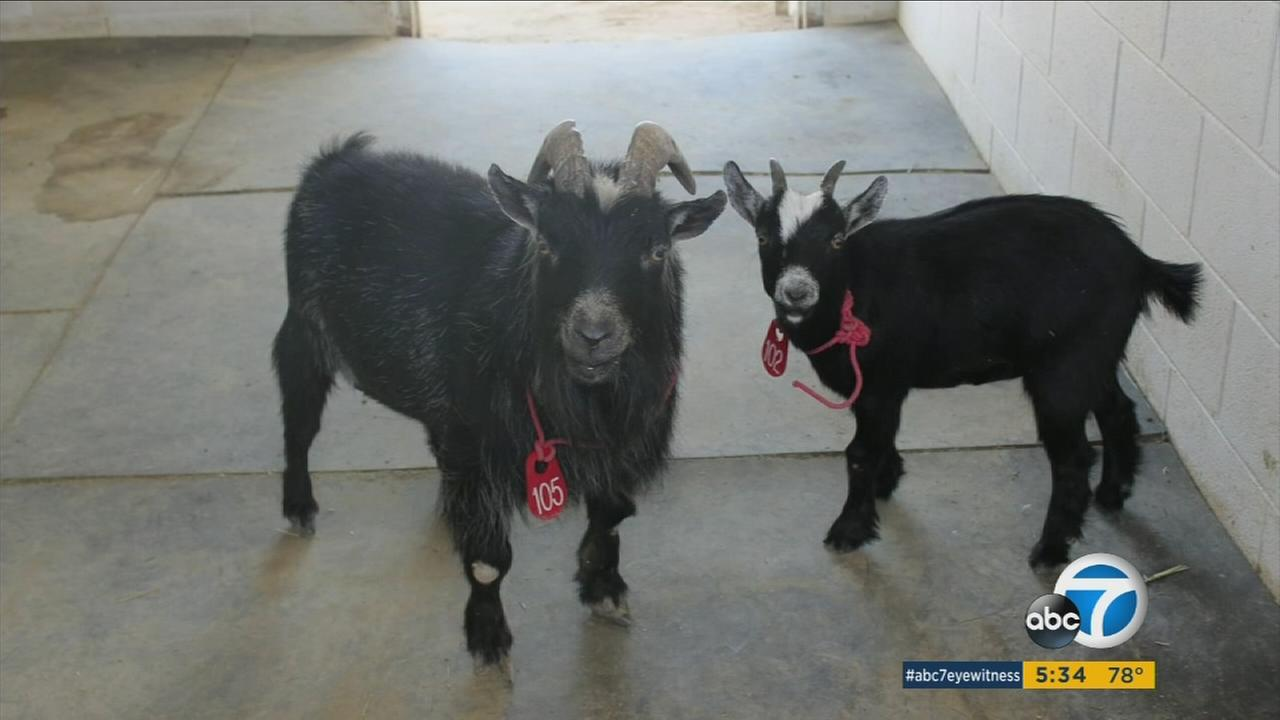 Christina Pease was ecstatic to hear that she would be reunited with her pet pygmy goats that she thought she lost during the Sand Fire.