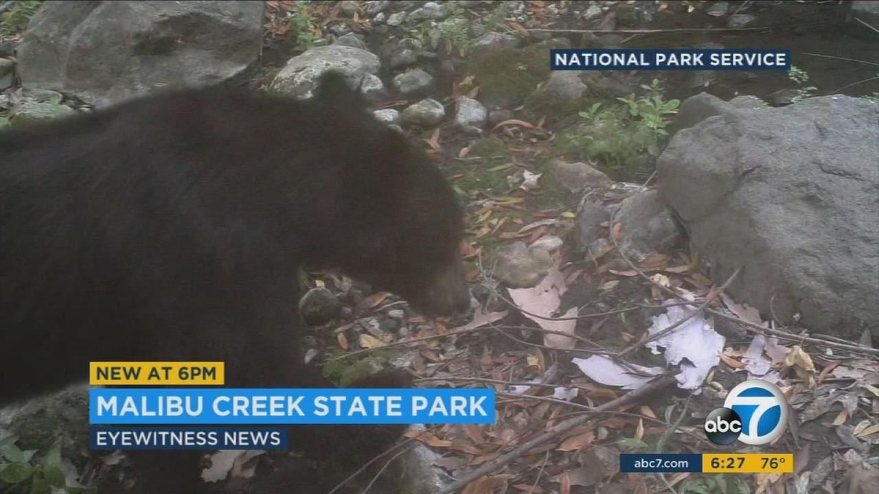 A black bear was photographed by surveillance cameras in Malibu Creek State Park on Wednesday, July 26, 2016, according to the National Park Service.