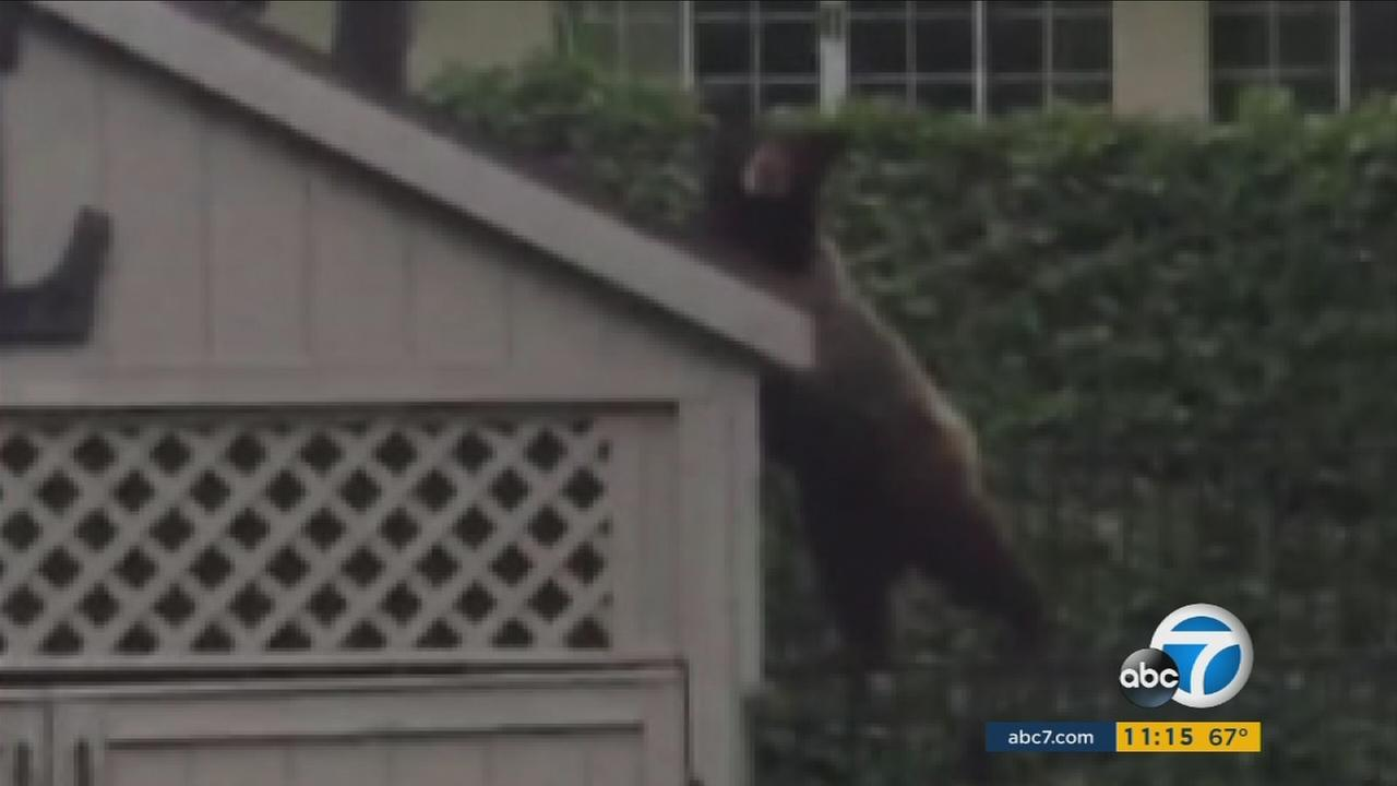 A bear in La Crescenta is becoming more bold and dangerous, officials warned.