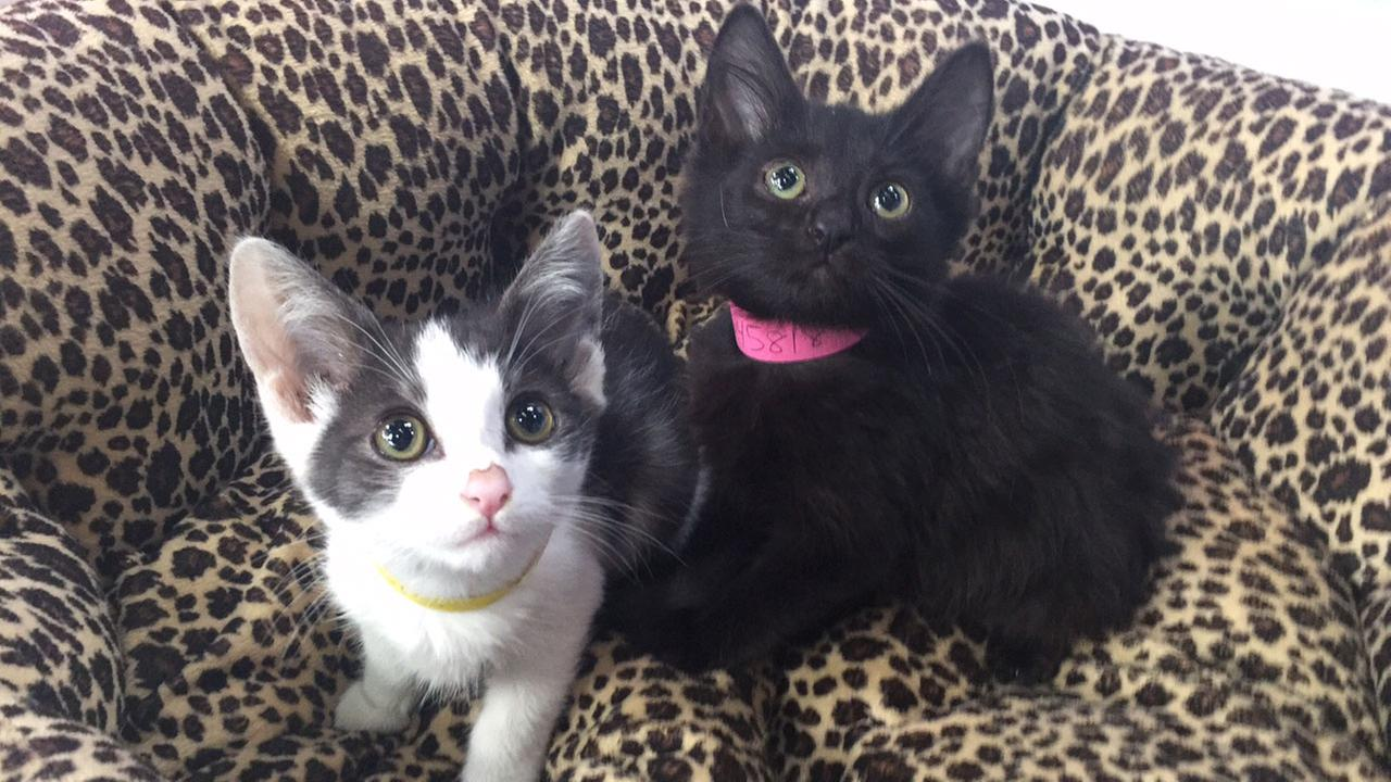 Kyle (L) and Charmaine (R) are two-month-old kittens looking for their forever homes.