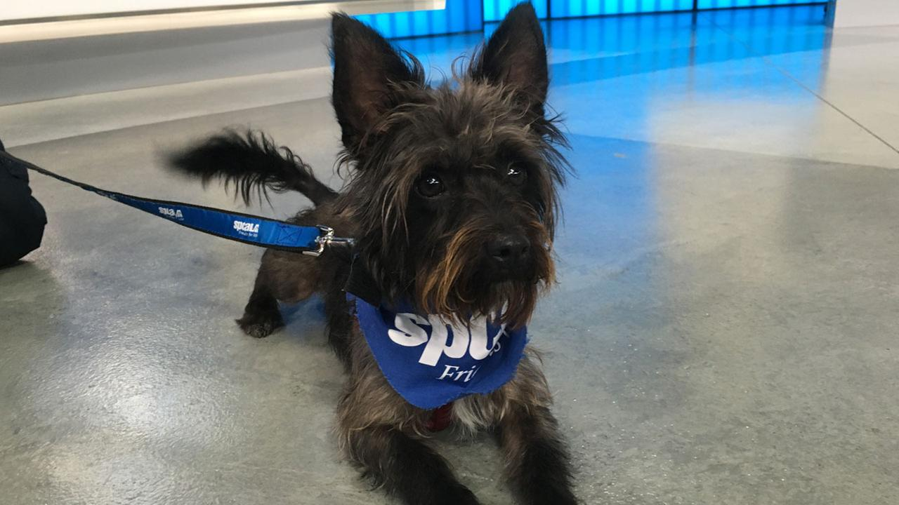 Jefferson, a 1-year-old terrier mix, is shown at the ABC7 studio on Thursday, Aug. 11, 2016.