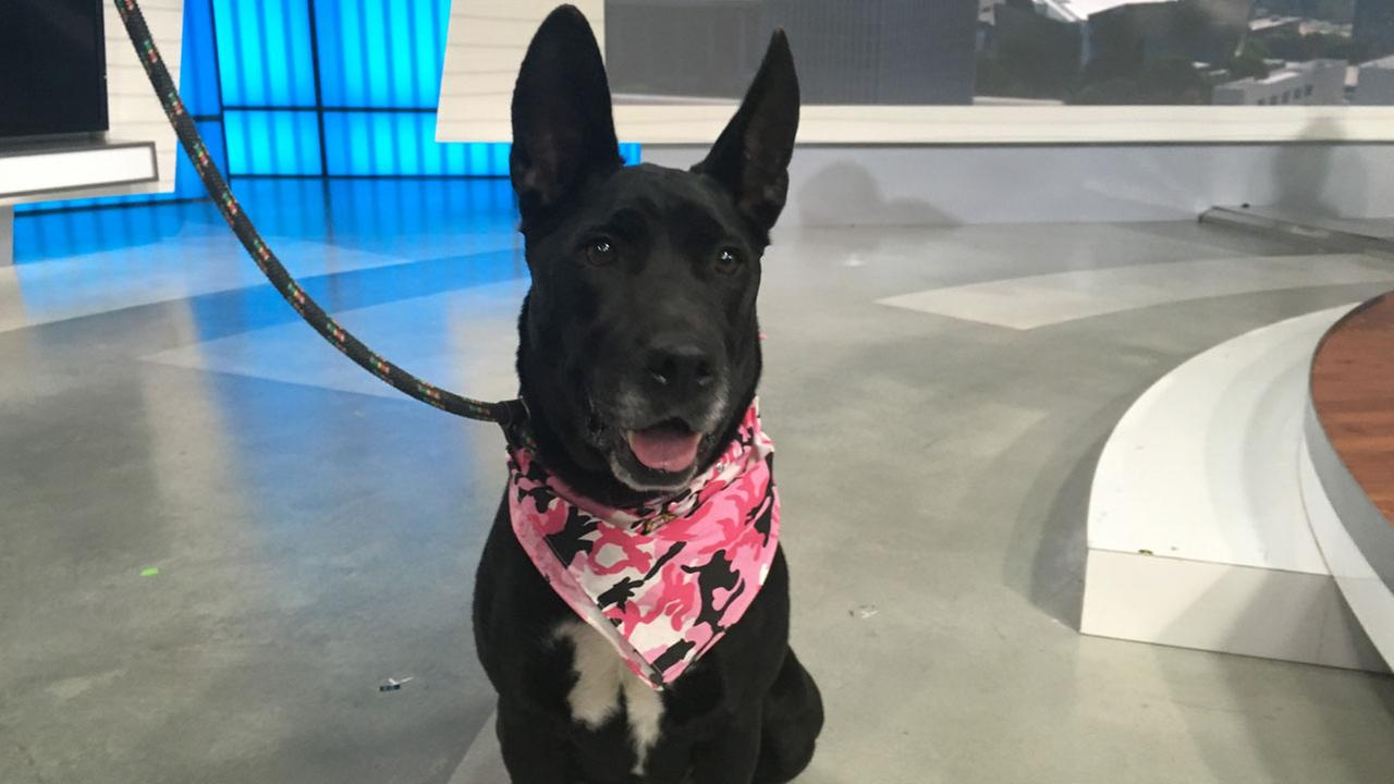 Spice, a 6-year-old German shepherd, is shown in the ABC7 studio on Thursday, Aug. 18, 2016.