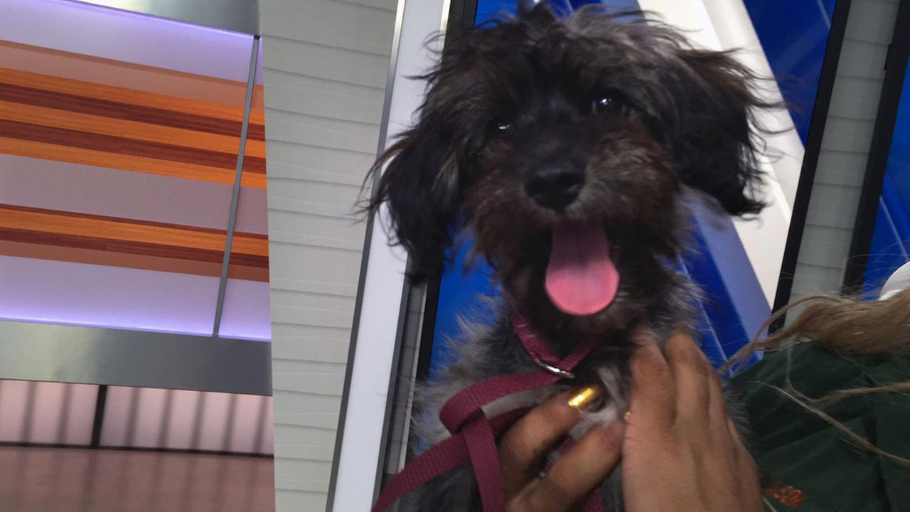 Our ABC7 Pet of the Week, a 4-month-old mix named Athena, is shown in the ABC7 studio on Tuesday, Aug. 23, 2016.