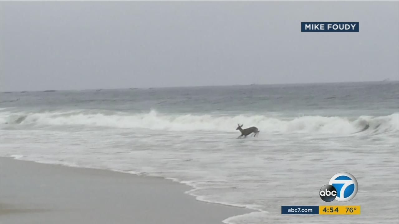A deer is seen running from the ocean waters in Dana Point captured on a cellphone video.