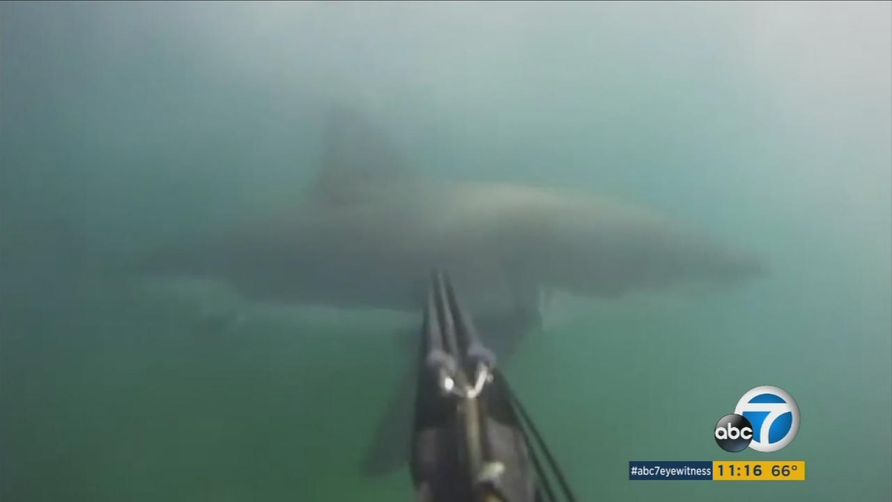 A swimmer in Santa Barbara points his spear gun at a great white shark.
