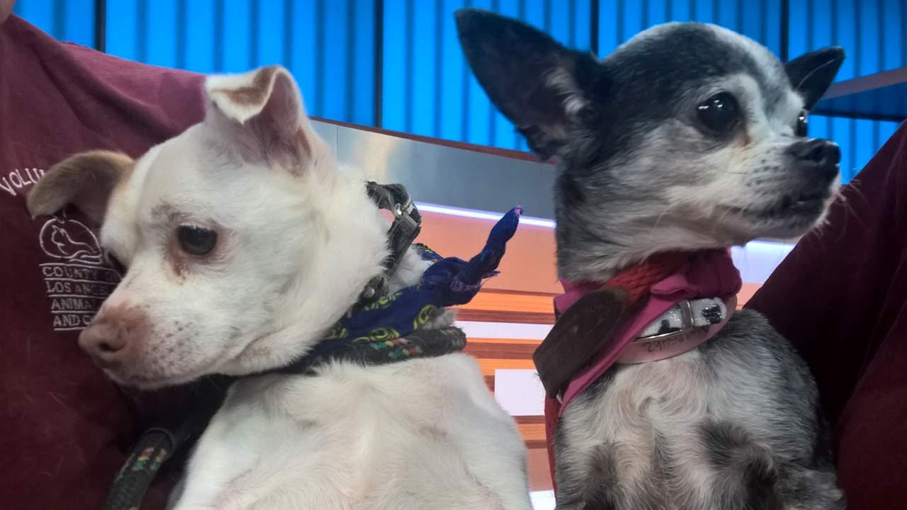 We have two dogs on our ABC7 Pet of the Week segment for Thursday, Sept. 15. Meet Princess and Charlie, both Chihuahua mixes who need a loving home!