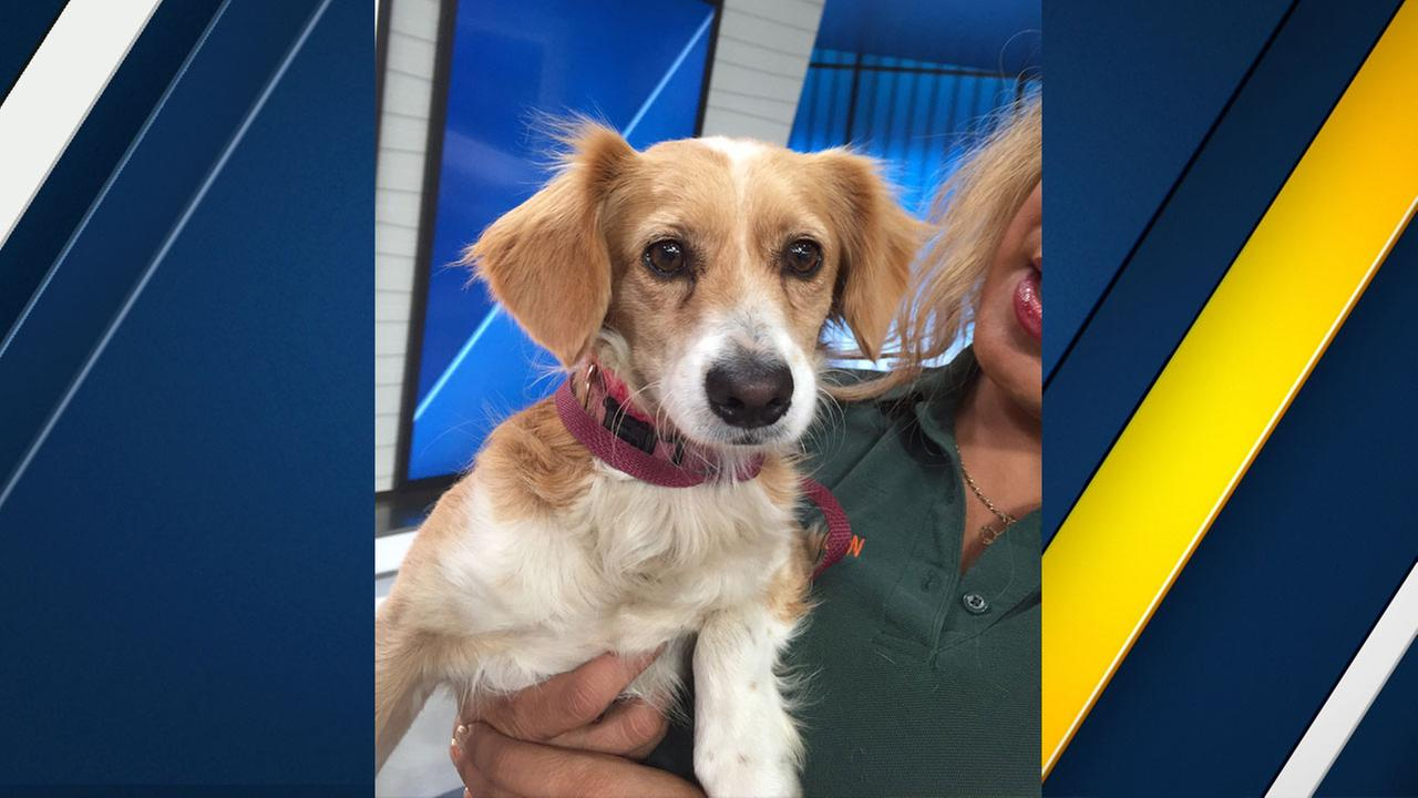 Junior, a cocker spaniel mix, is shown at the ABC7 studio on Tuesday, Sept. 20, 2016.