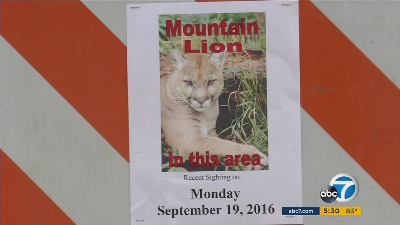 A bicyclist had a close encounter with a mountain lion in Foothill Ranch on Monday, Sept. 19, 2016.