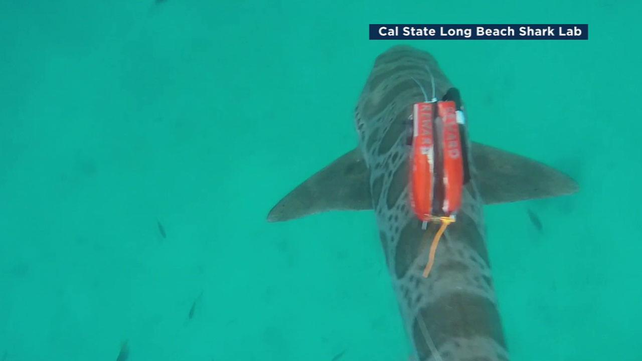 A shark with a tracker on its back is shown in an undated photo.