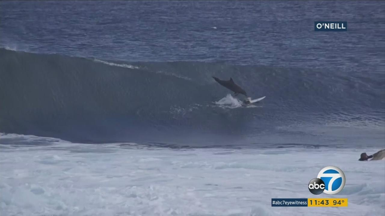 Junior surfing champion Jed Gradisen got a big surprise when a dolphin jumped onto his board off the west coast of Australia.