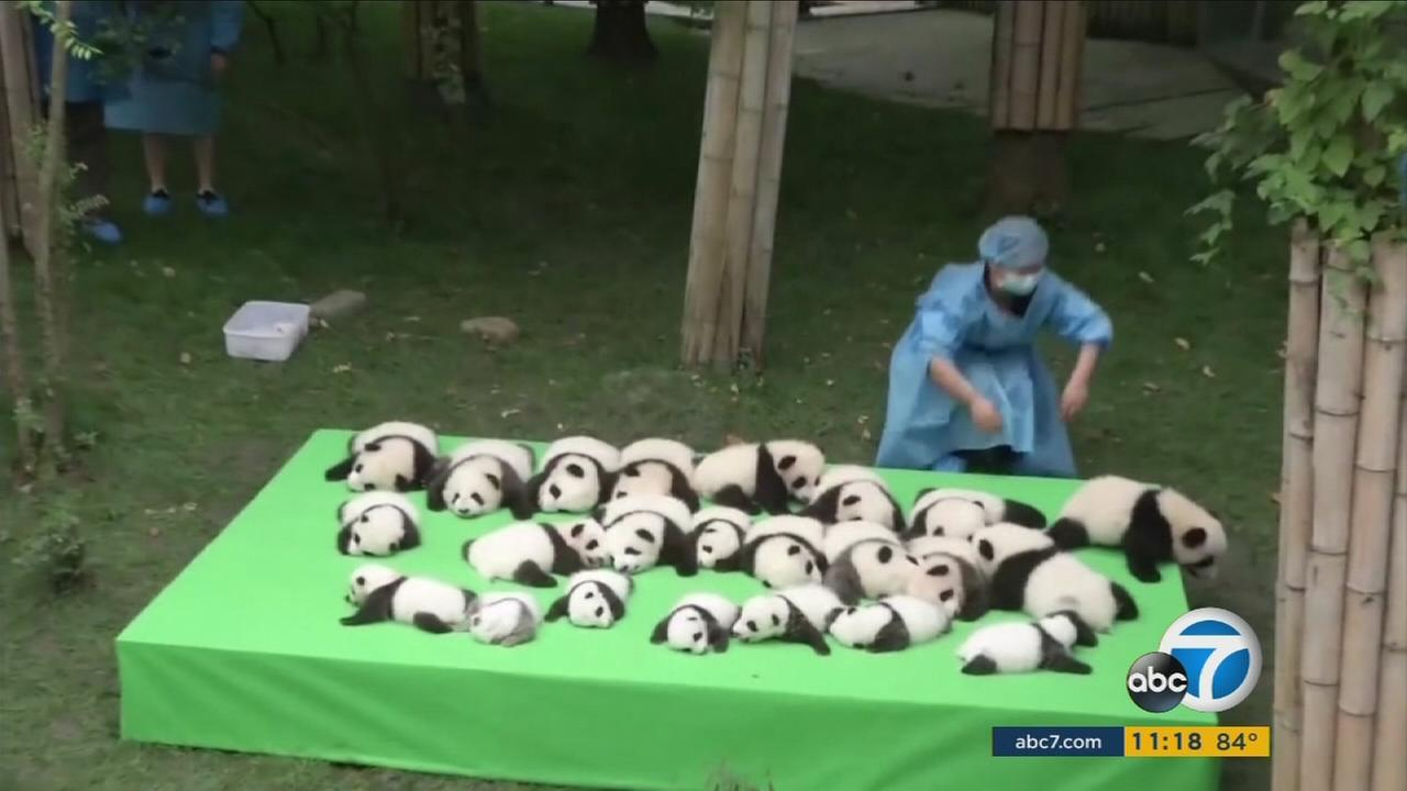 Twenty-three panda cubs making their debut in front of a frenzy of tourists in China.