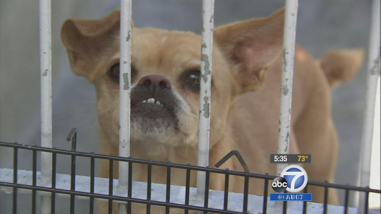 A Chihuahua is shown behind bars in this undated file photo.
