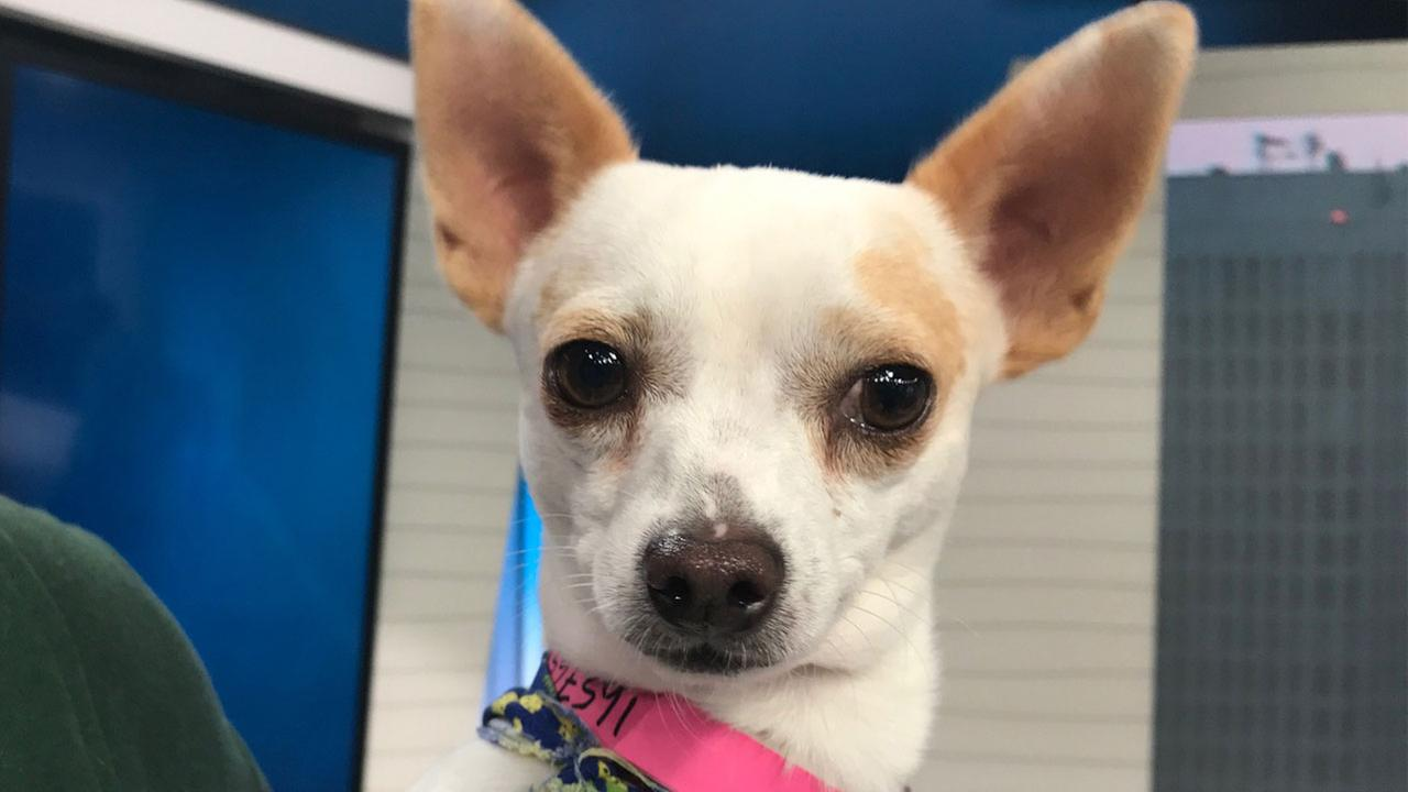 Our ABC7 Pet of the Week for Tuesday, Oct. 11, is a 4-year-old Chihuahua mix named Junior. Please give him a good home!