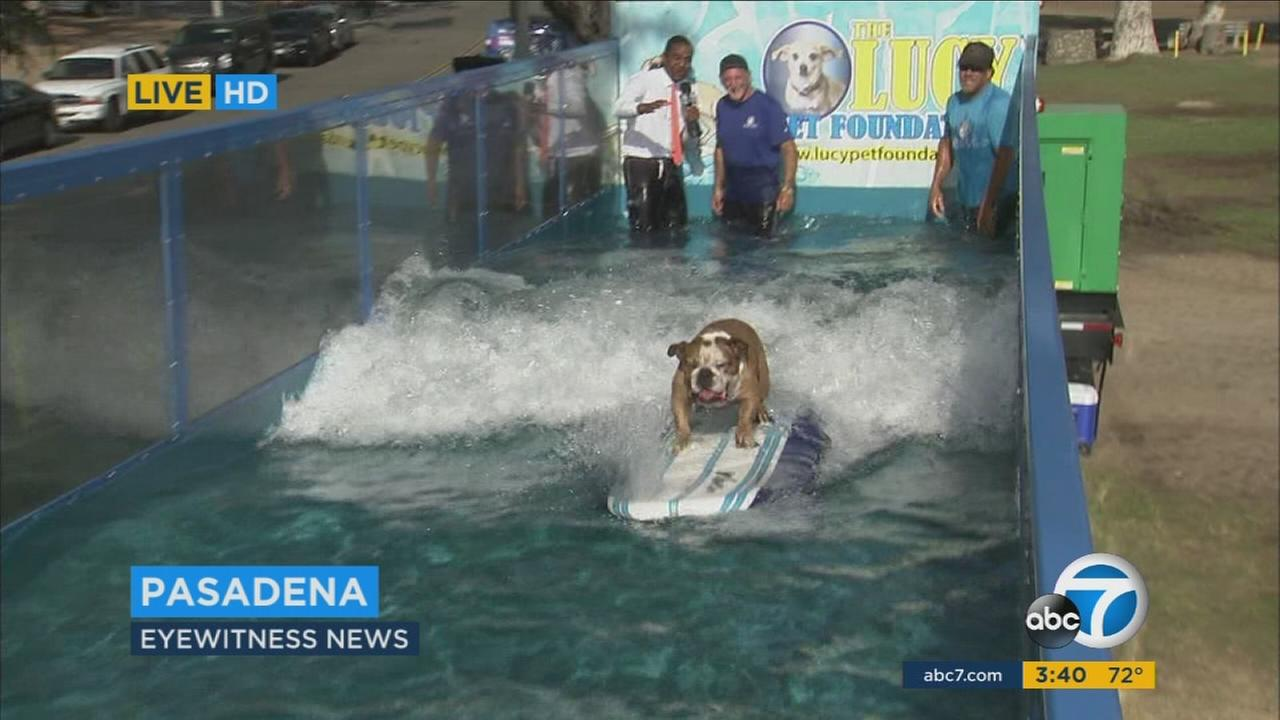 Sully, a world champion dog, gets on a board and surfs in a portable K-9 surf machine in Pasadena on Friday, Oct. 14, 2016.