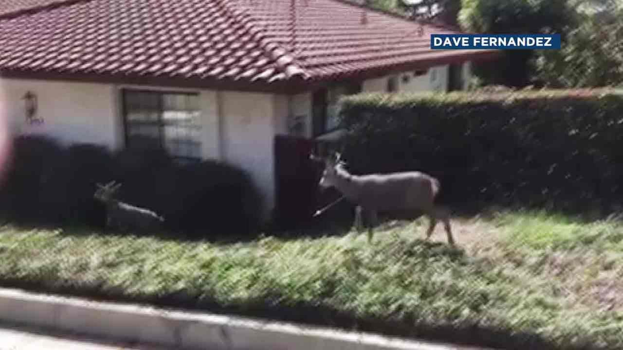 A screenshot of disturbing video, which captured a deer with an arrow in its chest in the Monrovia area on Friday, Oct. 14, 2016.