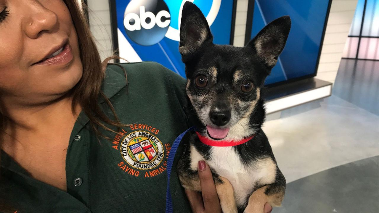 Lonnie, a 7-year-old Chihuahua, is shown in the ABC7 studios on Tuesday, Oct. 25, 2016.