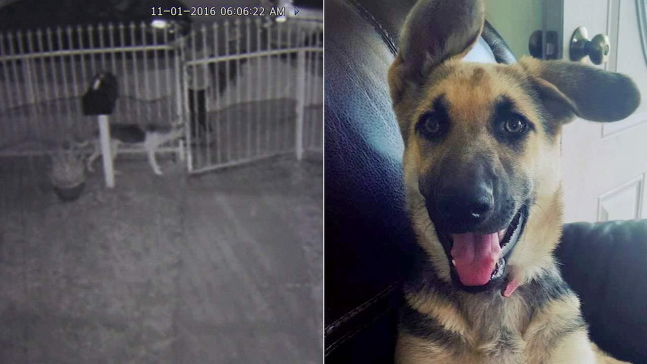 TJ, an 8-month-old German shepherd, was stolen from the lawn of an East Los Angeles home on Tuesday, Nov. 1, 2016.