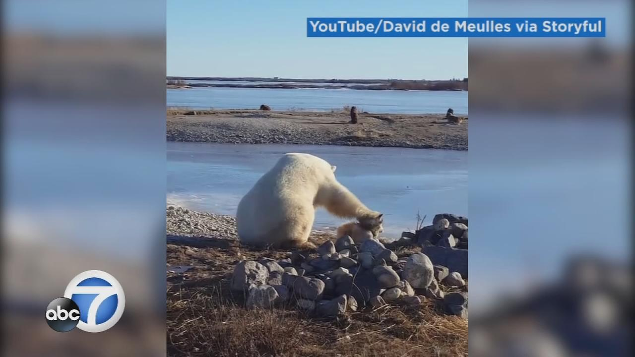 A curios polar bear was caught on camera gently petting a dog in Manitoba, Canada.