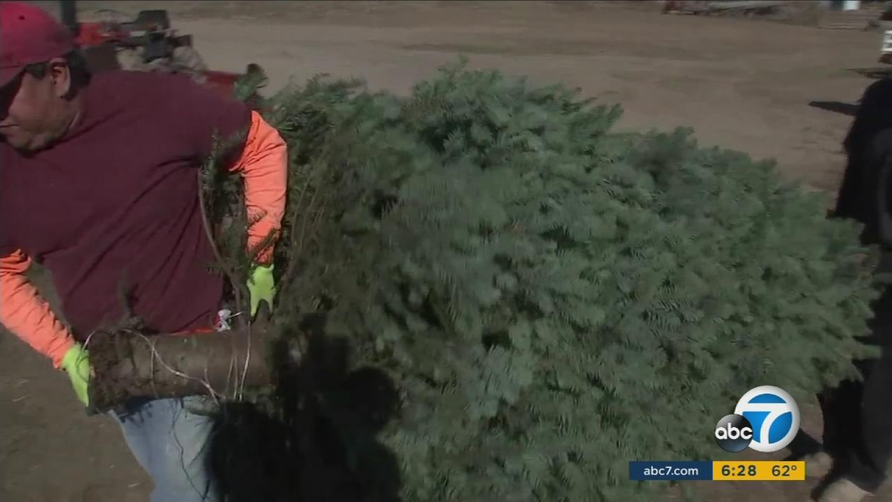 Santa Paula Christmas Tree Farm embraces the holiday spirit despite losing thousands of tree due to a widespread infection.