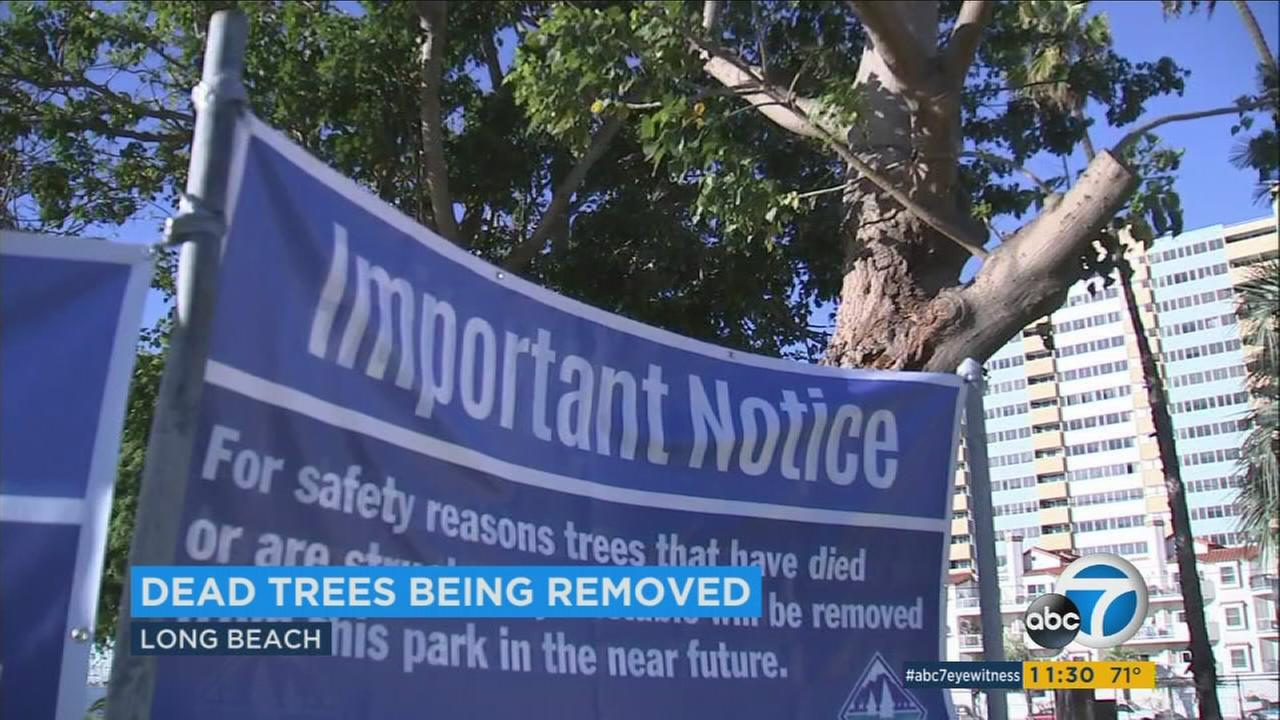 A sign shows that several damaged or dying coral trees at a Long Beach park will be cut down by mid-January.