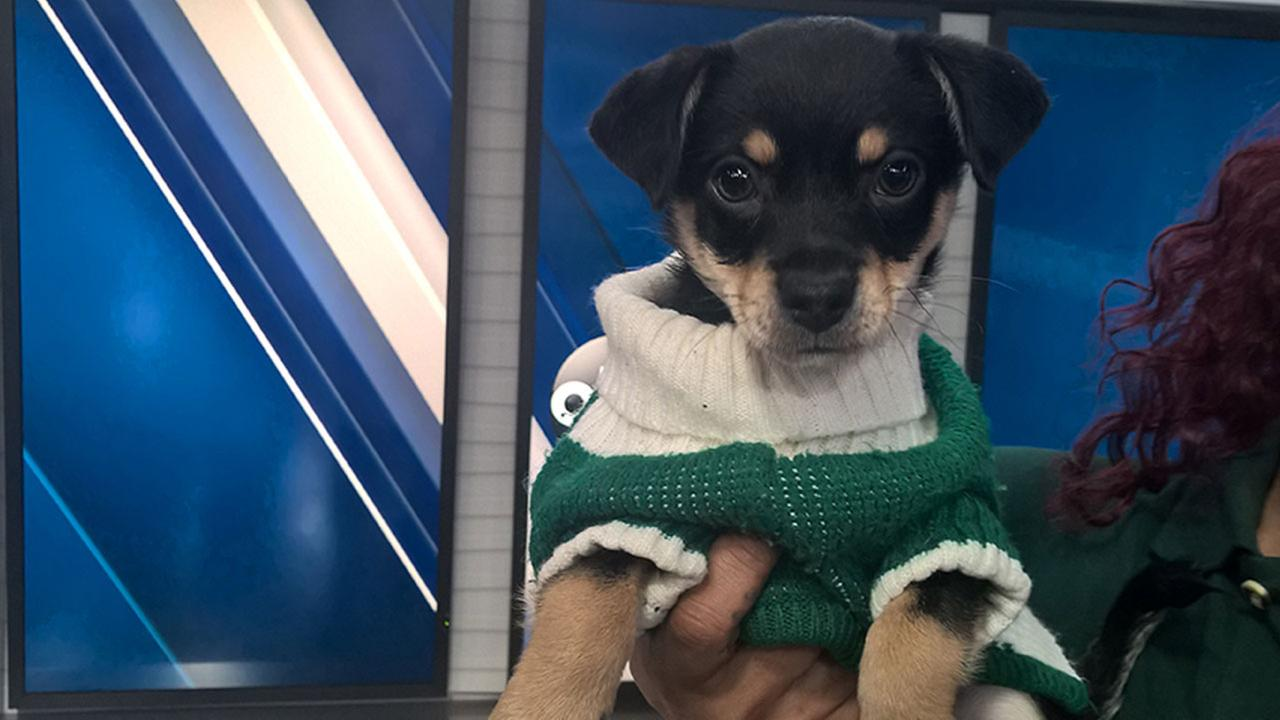 Our ABC7 Pet of the Week for Tuesday, Jan. 3, is a 10-week-old Chihuahua mix named Rascal.