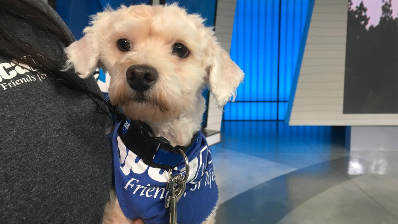 Koala, a 2-year-old male poodle mix, is shown in the ABC7 studios on Thursday, Jan. 5, 2017.