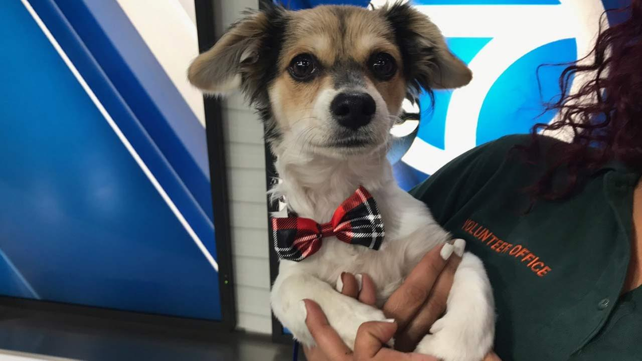 Our ABC7 Pet of the Week for Tuesday, Jan. 10, is a 4-month-old male Jack Russell Terrier mix named Jason. Please give him a good home!