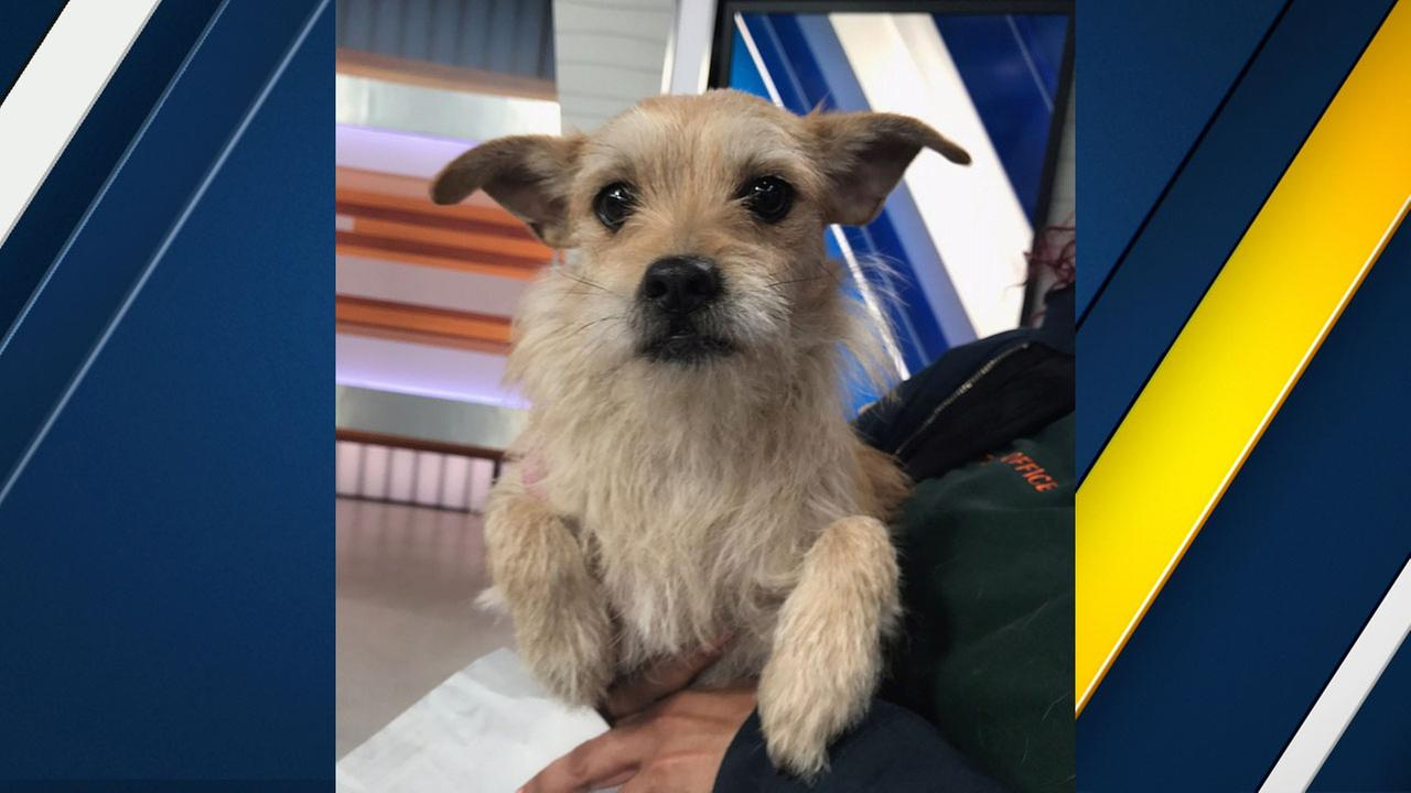 Peaches, a female terrier mix, is shown in the ABC7 studios on Tuesday, Jan. 17, 2017.
