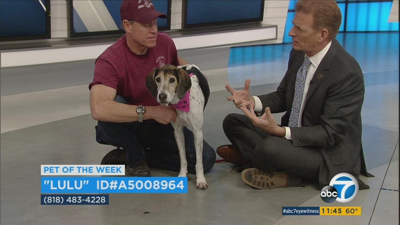 Our ABC7 Pet of the Week is a 10-year-old foxhound mix named Lulu. Please give her a good home!