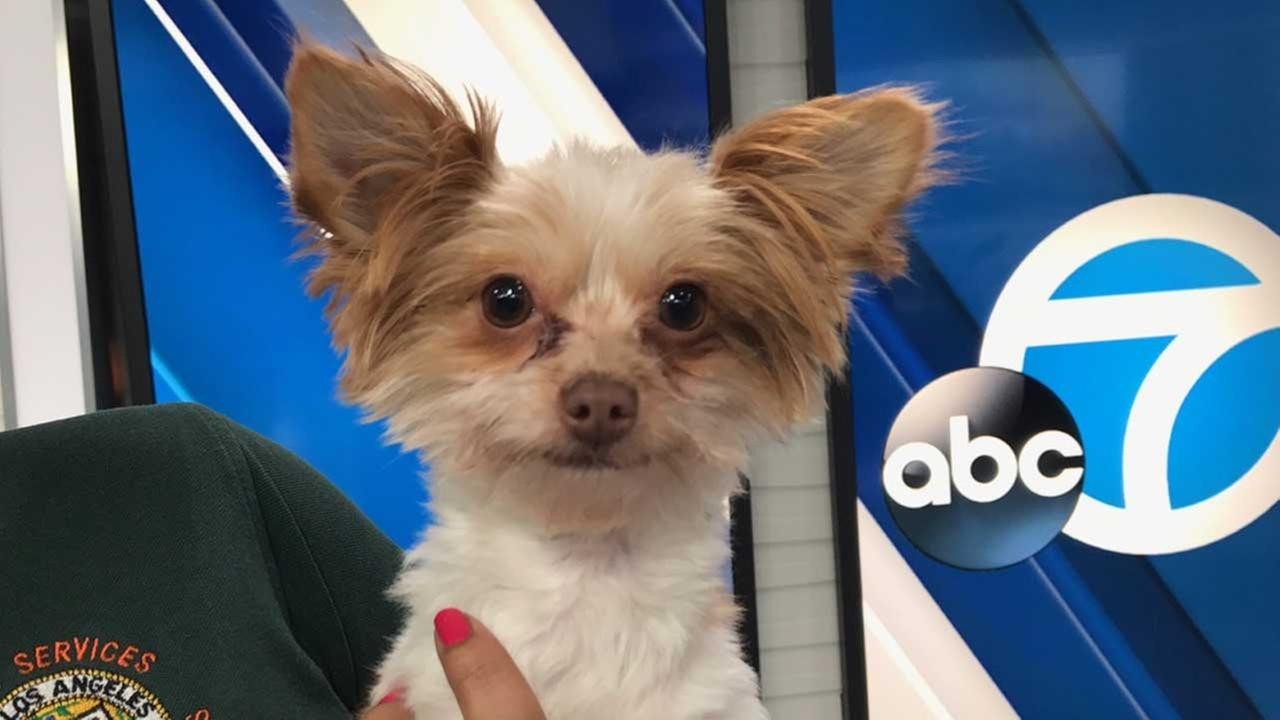 Our ABC7 Pet of the Week on Tuesday, Jan. 24, is a 5-year-old Papillon mix named Trevor. Please give him a good home!