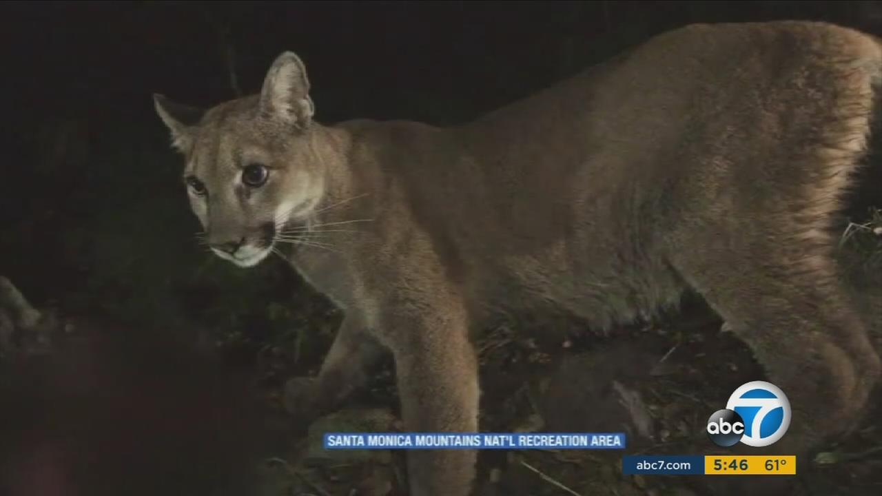 An undated photo of a mountain lion in the Santa Monica Mountains.