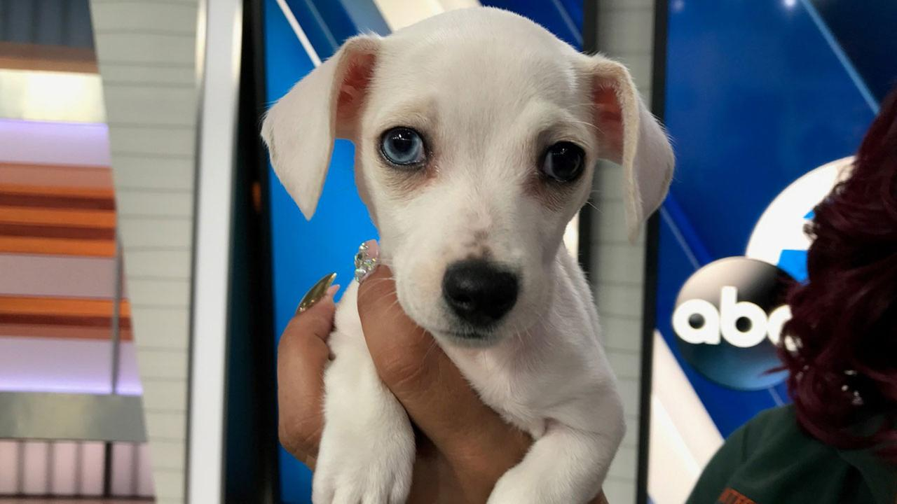 Daisy, a two-month-old dachshund mix, is shown in the ABC7 studio on Tuesday, Feb. 7, 2017.