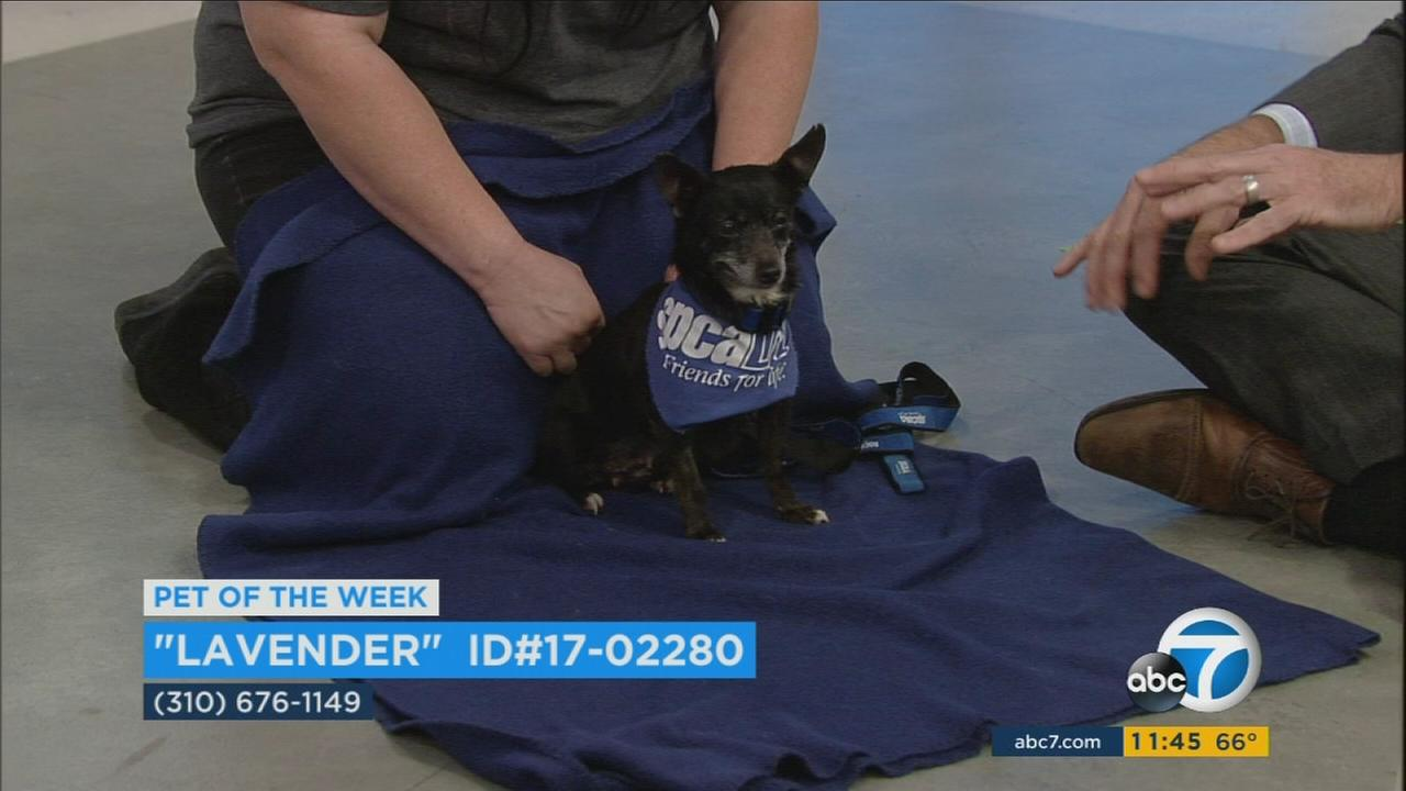 Lavender, a 10-year-old Chihuahua mix, is shown in the ABC7 studios on Thursday, Feb. 9, 2017.