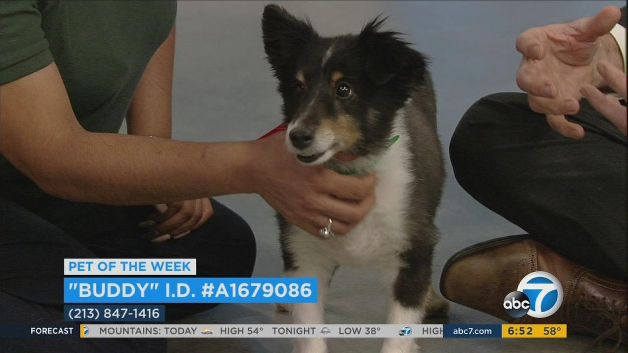 ABC7 Pet of the Week Buddy is shown in the ABC7 studios on Tuesday, Feb. 14, 2017.