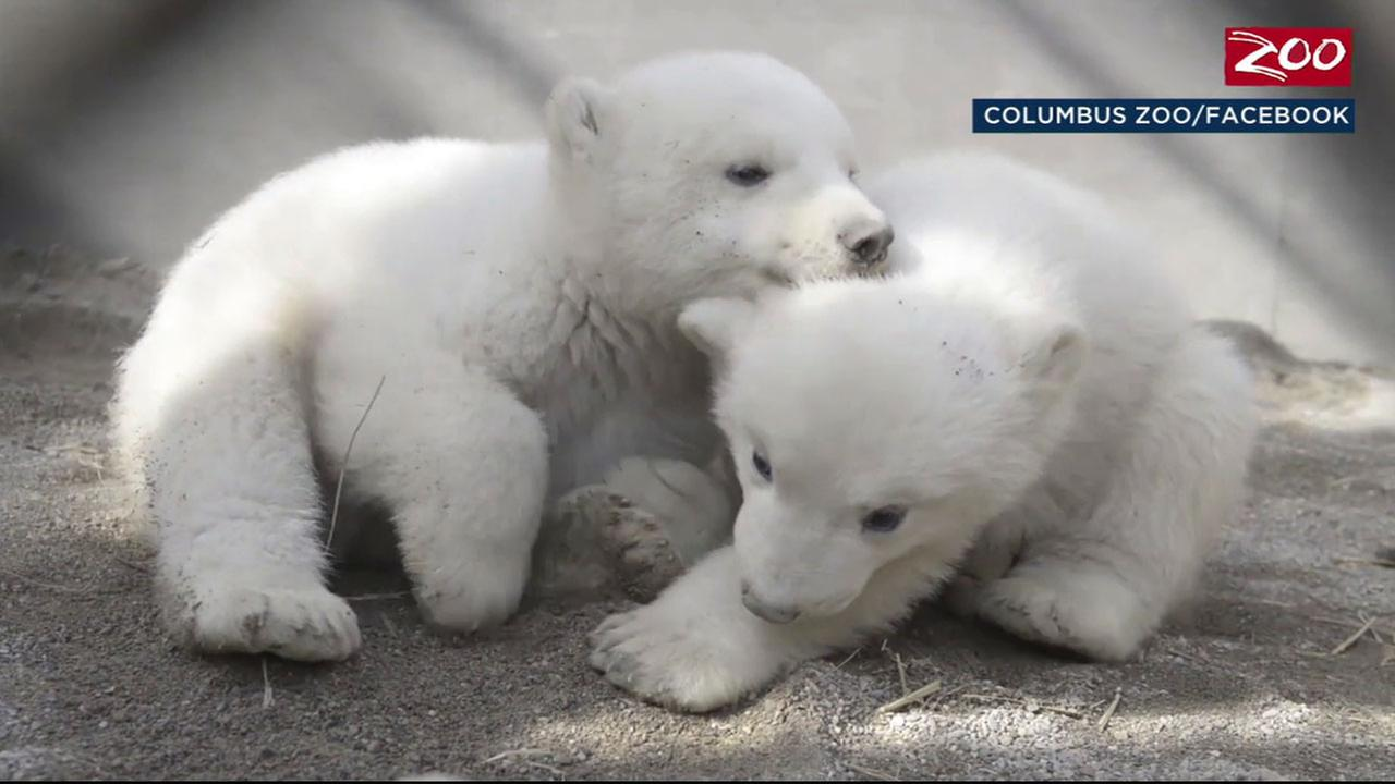 Twin polar bear cubs are shown in a video with their mother, Aurora, at the Columbus Zoo in Ohio.
